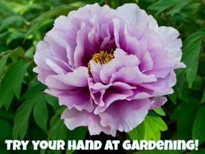 Japanese peony with a call to action - try your hand at gardening