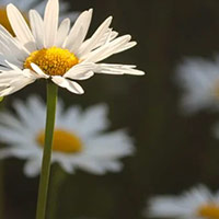 decorative daisy