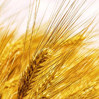 decorative wheat