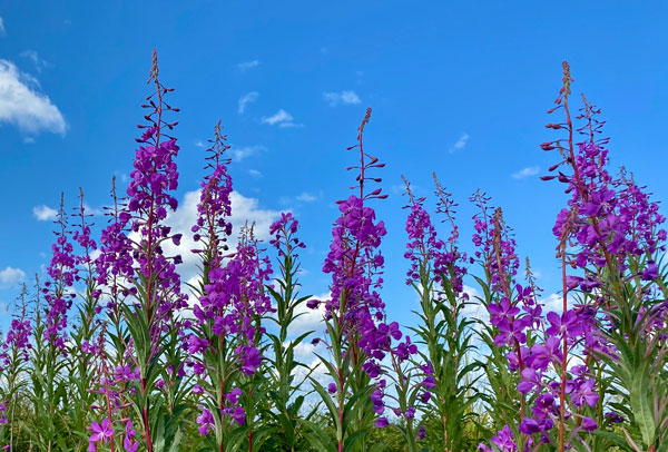 Looking up at fireweed flowers.
